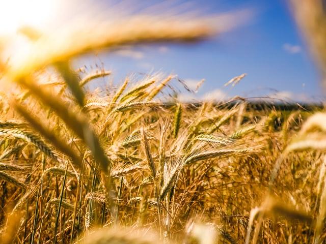 Rozprawienie się z popularną chorobą upraw o nazwie zgorzel siewek